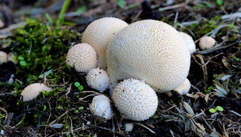 Lycoperdon pyriforme,(Pear shaped puffball) - image #451765 gratis