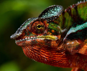 Painted Chameleon - Kostenloses image #451825