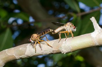 Mating pair of Downy Emerald Dragonflies - image gratuit #451865