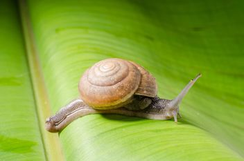 Snail on banana leaf - бесплатный image #451875