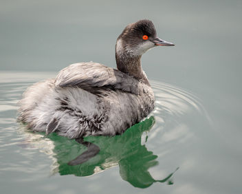 Eared Grebe (non-breeding plumage) - image #451995 gratis
