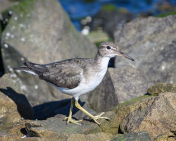 Spotted Sandpiper (non-breeding plumage) - бесплатный image #452025