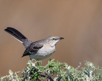 Northern Mockingbird - Free image #452095