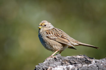 Golden-crowned Sparrow (Immature) - image #452115 gratis