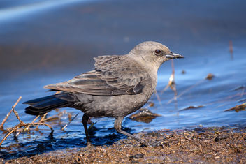Brewer's Blackbird (f) - image #452365 gratis