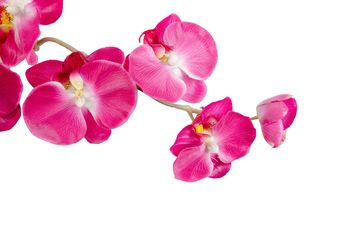 orchid on white background - image gratuit #452595