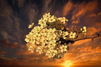 A cherryblossom at sun set - Free image #452865