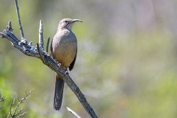 California Thrasher - image #453015 gratis