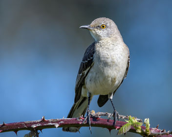 Northern Mockingbird - Free image #453705