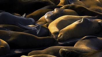 Satisfied Sunning Sea Lions - Free image #453735