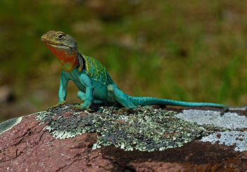 Eastern Collared Lizard (Crotaphytus collaris) - Free image #453855