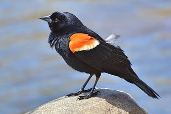 Red-winged Blackbird - image gratuit #453945