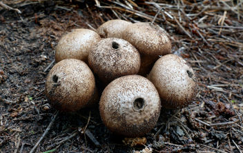 Wolf-fart Puffball, Stump Puffball (Lycoperdon pyriforme) - image #453955 gratis