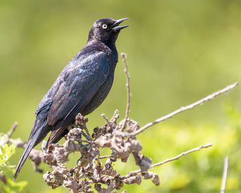 Brewer's Blackbird - Free image #454005