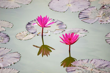 Lotus at Lal Bagh - image gratuit #454105