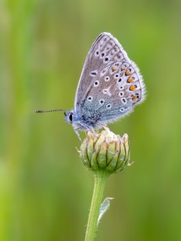 Common Blue - image gratuit #454235