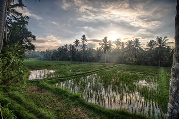 Morning in the rice fields of Ubud, Bali. - Kostenloses image #454415