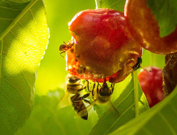 Bees racing toward extinction - Free image #454495