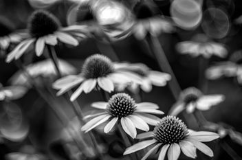 Coneflower - B&W Version - Free image #454505