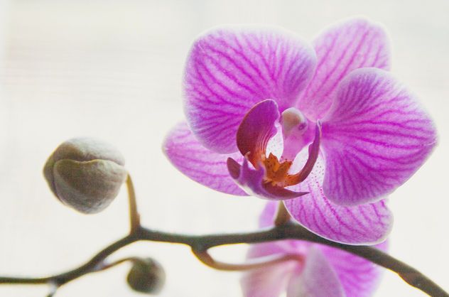 Orchid. #Orchid #Flower #macro #nature #flora #nature #pink #HighKey - бесплатный image #454545
