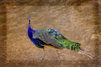 A beautiful peacock - image #454715 gratis