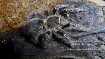 Golden Knee Tarantula - Free image #455635