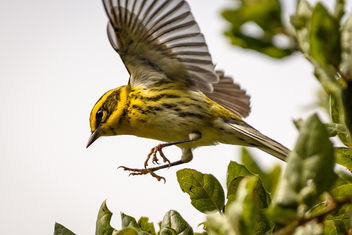 Townsend's Warbler (m) - Free image #455645