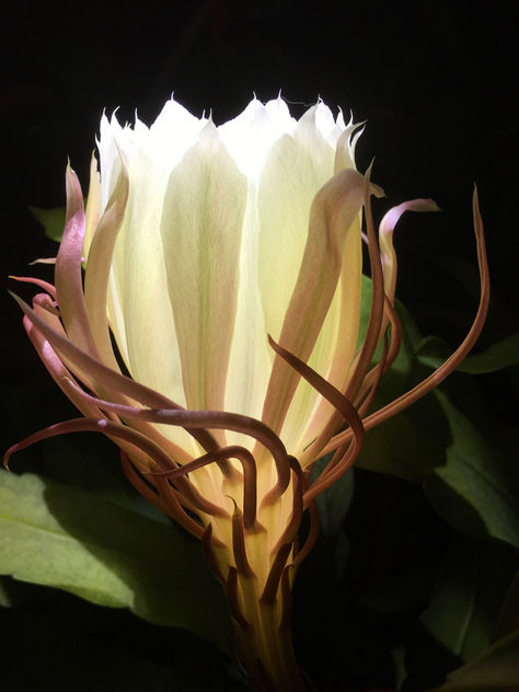 Dutchman's pipe night queen - Keng Hwa - image gratuit #455665