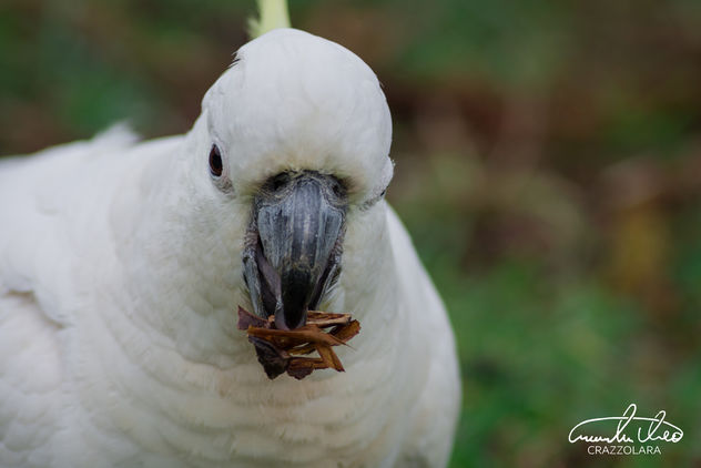 Cockatoo - Free image #456125