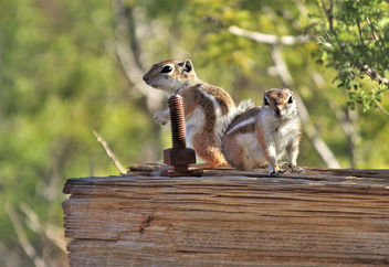 Antelope ground squirrels - image gratuit #456345
