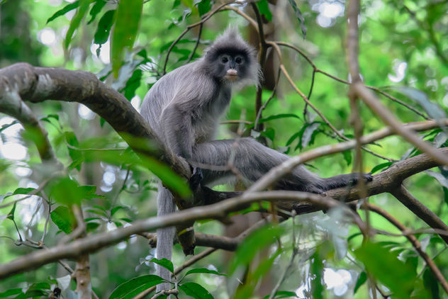 Trachypithecus crepusculus, Indochinese grey langur - Free image #456375