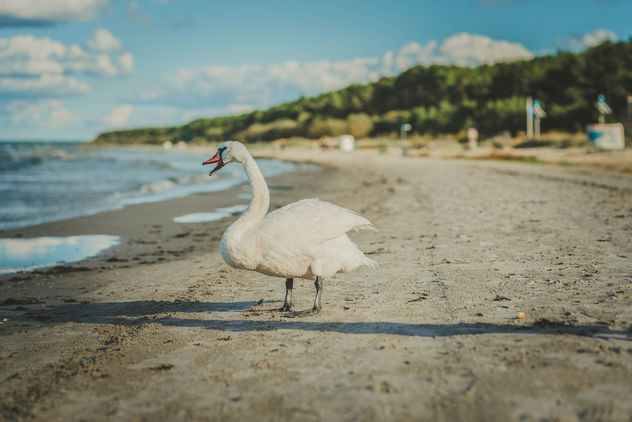 White Swan In Beach.jpg - image gratuit #456525