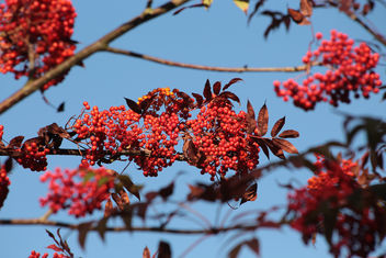Mountain Ash - Free image #456765
