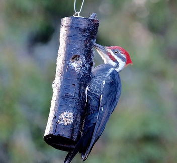 Handsome Fella: Male Pileated Woodpecker - image gratuit #456775