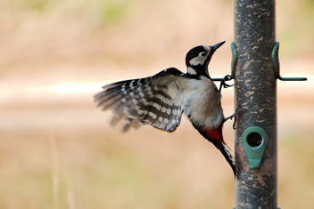 Great Spotted Woodpecker - RSPB Sandy - бесплатный image #456965
