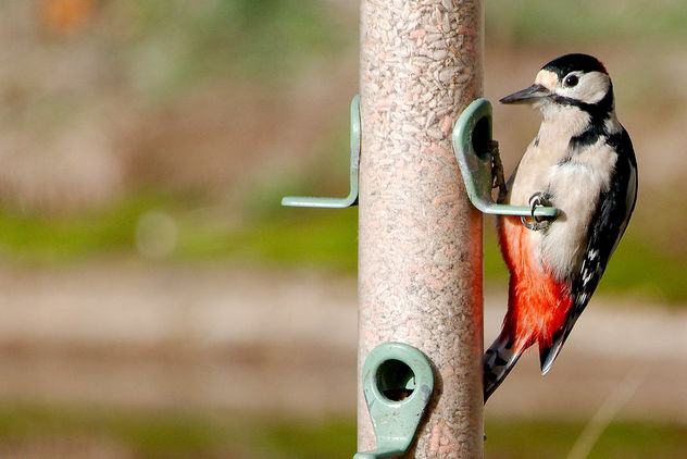 Great Spotted Woodpecker - Free image #457165
