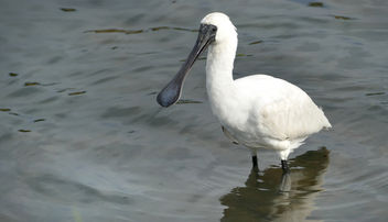 The royal spoonbill (Platalea regia) - image gratuit #457255