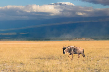 The Lone Blue Widebeest (Gnu), Amboseli National Park - бесплатный image #457535