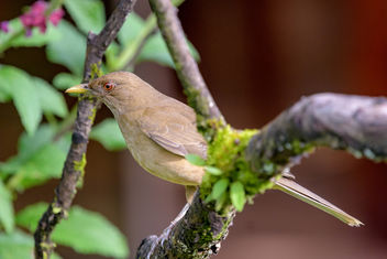 Clay-colored Thrush - image gratuit #457935