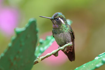 Purple-throated Mountain Gem Hummingbird - Kostenloses image #457965