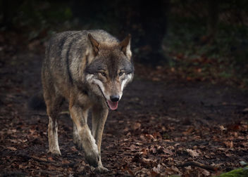 A Wolf In Winter - Free image #458015