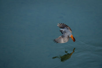 Plumbeous water redstart. Spotted near Baijnath temple, Uttarakhand, India. - бесплатный image #458355