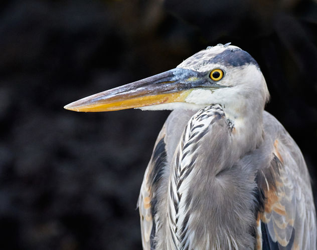 Galapagos Great Blue Heron - Free image #458365