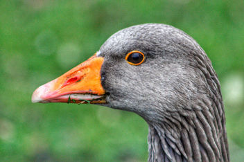 Pink Footed Goose Portrait - Free image #458395