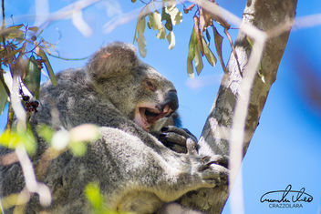 Tired Koala - image gratuit #458505
