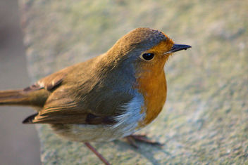 Robin at Leighton Moss. - бесплатный image #458545