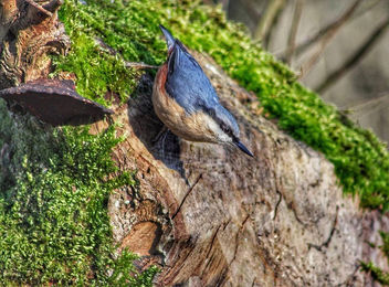 Nuthatch at Leighton Moss. #nuthatch #LeightonMoss #RSPB #NatureReserve #Silverdale #Lancashire #bird #birdwatching #birding #nature #birdportrait #wildlife #animal #fauna - image #458575 gratis