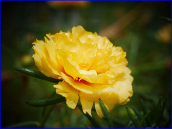 yellow moss rose purslane flower - image #458705 gratis