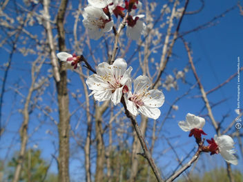Flowering plum tree - image #458745 gratis