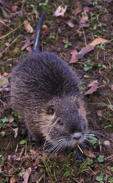 Nutria with toothpick - Free image #459015